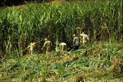 sugarcane3.jpg